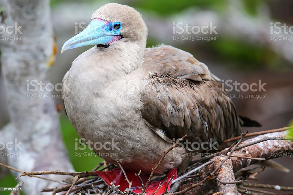 Red-footed booby (Sula sula) sitting on a nest stock photo