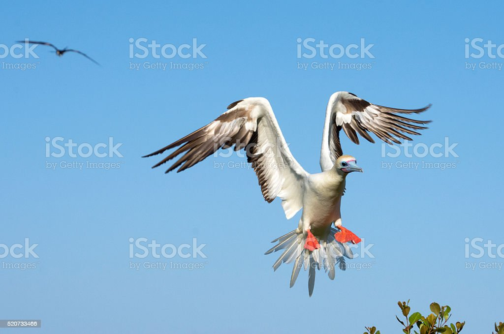 Red-footed booby slowing down stock photo