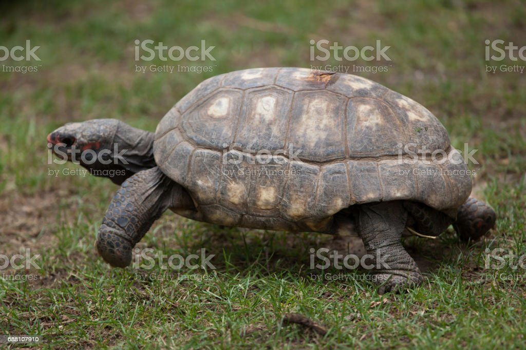 Red-footed tortoise (Chelonoidis carbonaria). stock photo