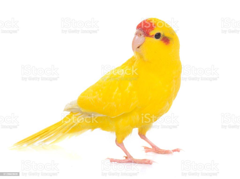 Red-fronted Kakariki parakeet stock photo