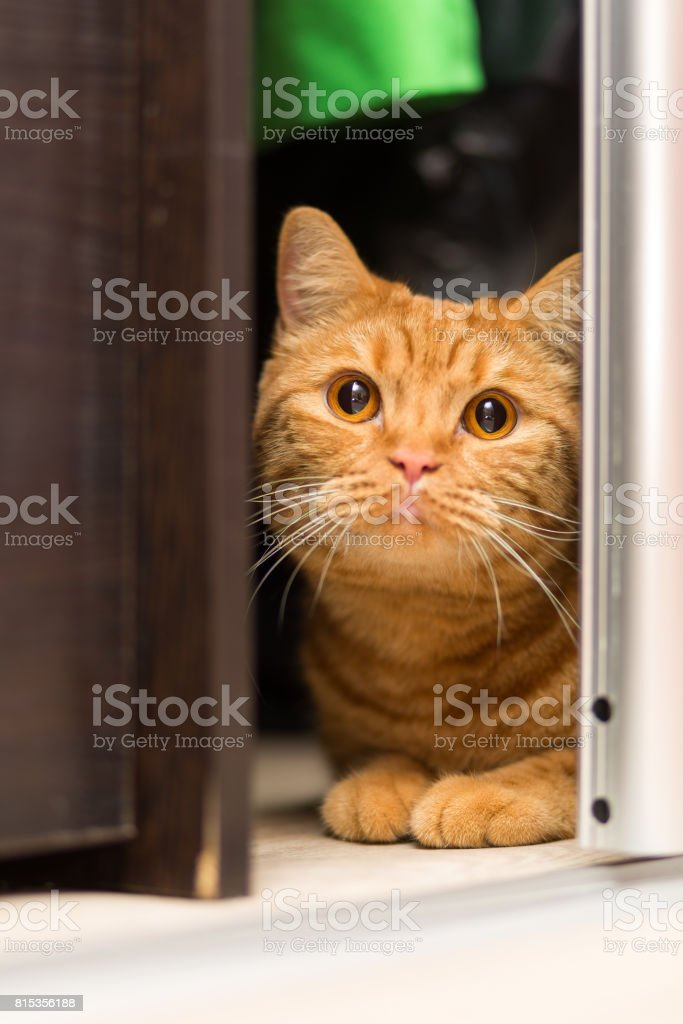 Red-haired adult cat hiding in the closet cautiously looking out stock photo