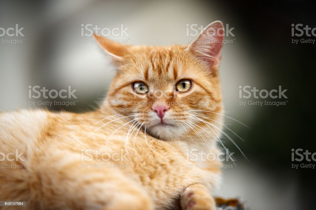 redhaired kitty portrait stock photo