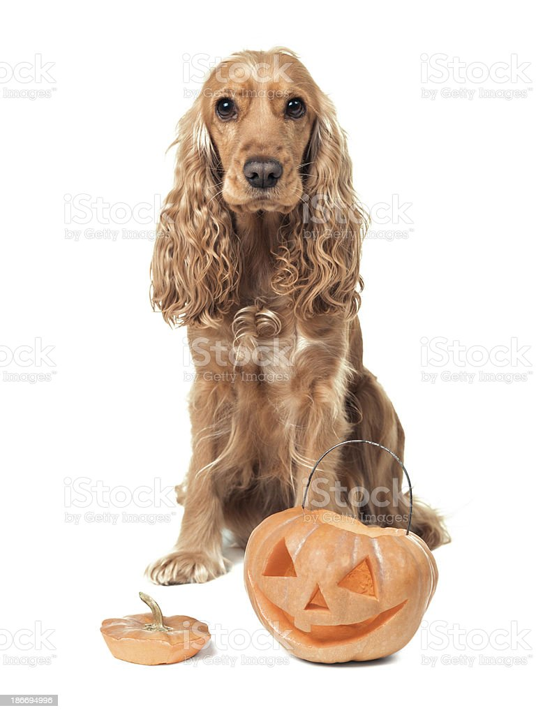 red-haired spaniel and jack-o-lantern royalty-free stock photo