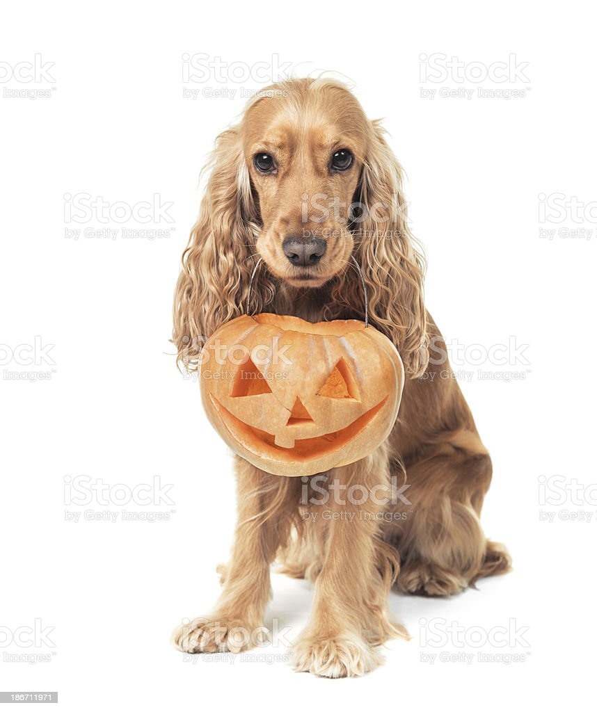 red-haired spaniel holds jack-o-lantern royalty-free stock photo