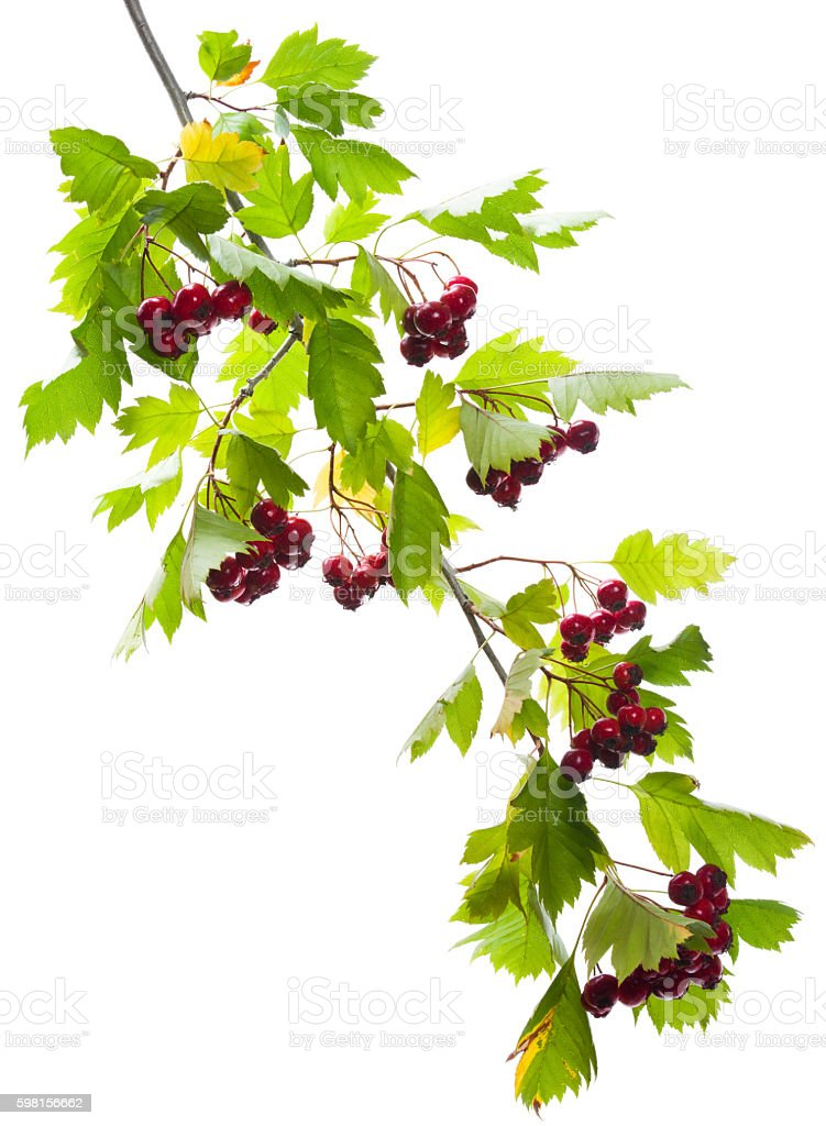 Redhaw hawthorn stock photo