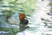 Redhead Duck (Aythya Americana)