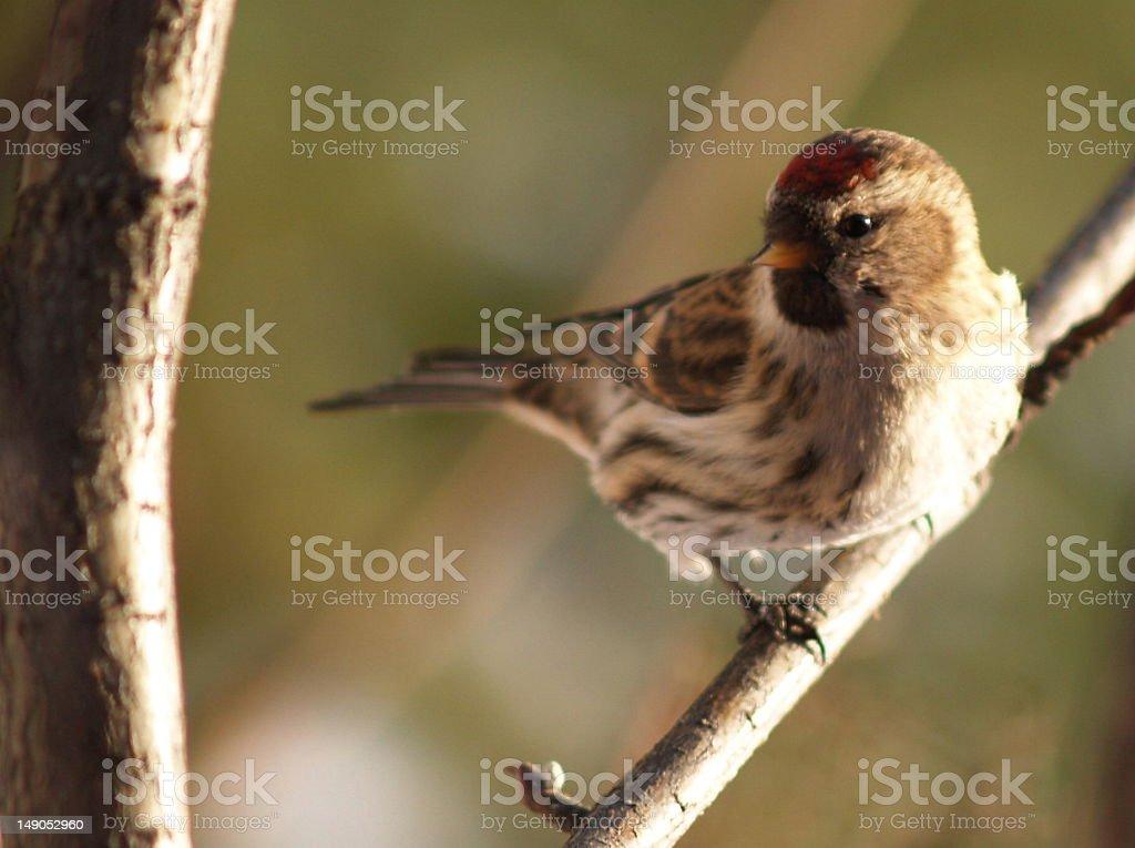 Redhead Redpoll stock photo