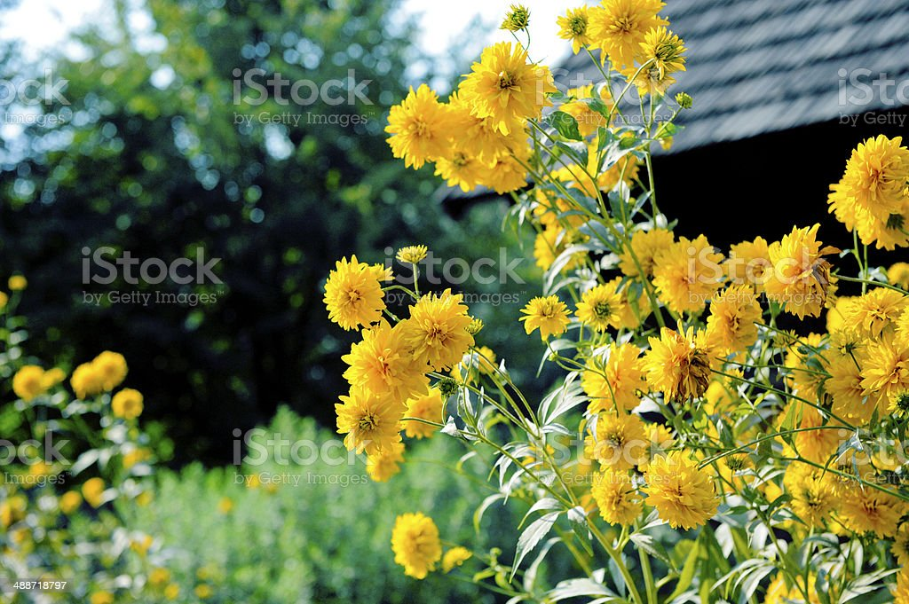 rudbekia l?ni?ca stock photo