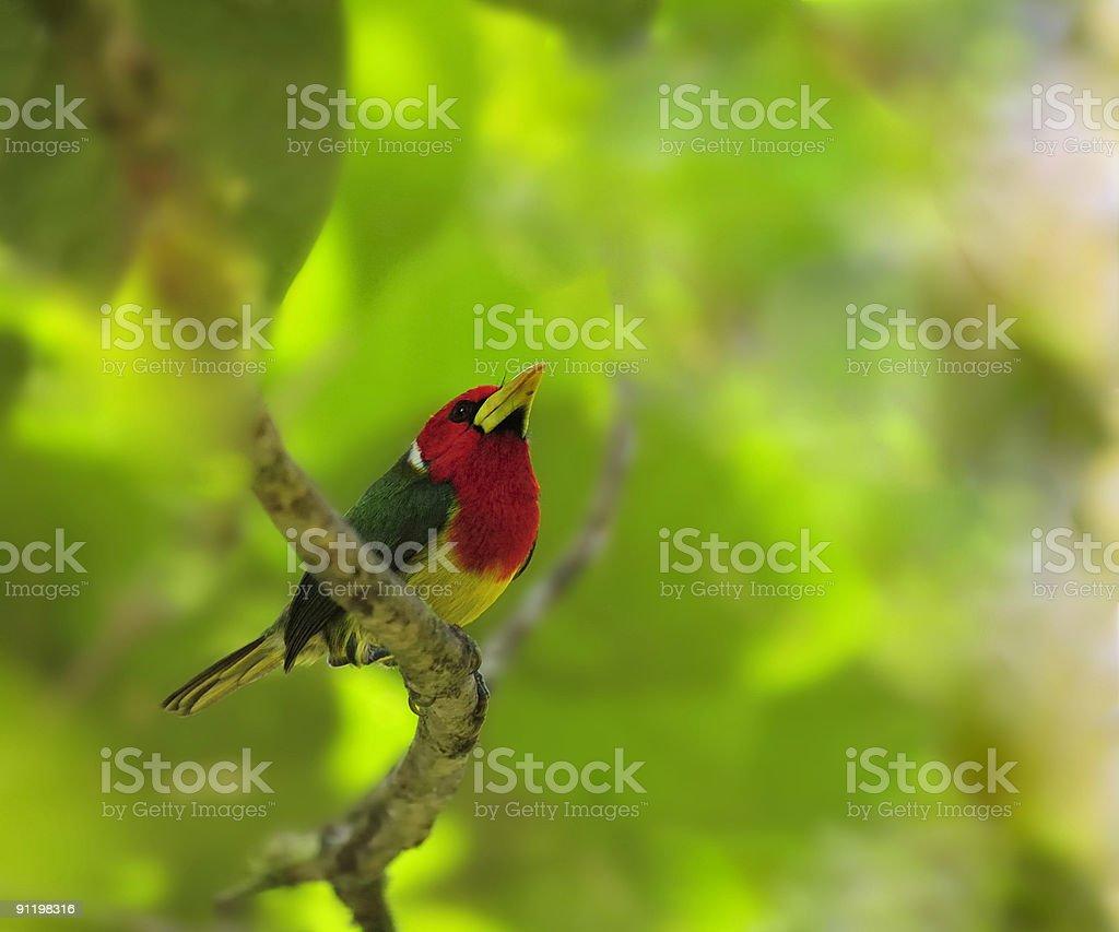 Red-headed Barbet Male In Ecuador stock photo