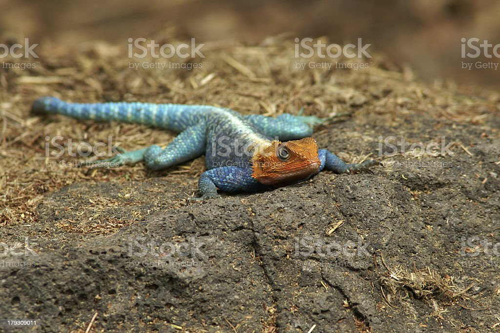 Red-headed Rock Agama stock photo