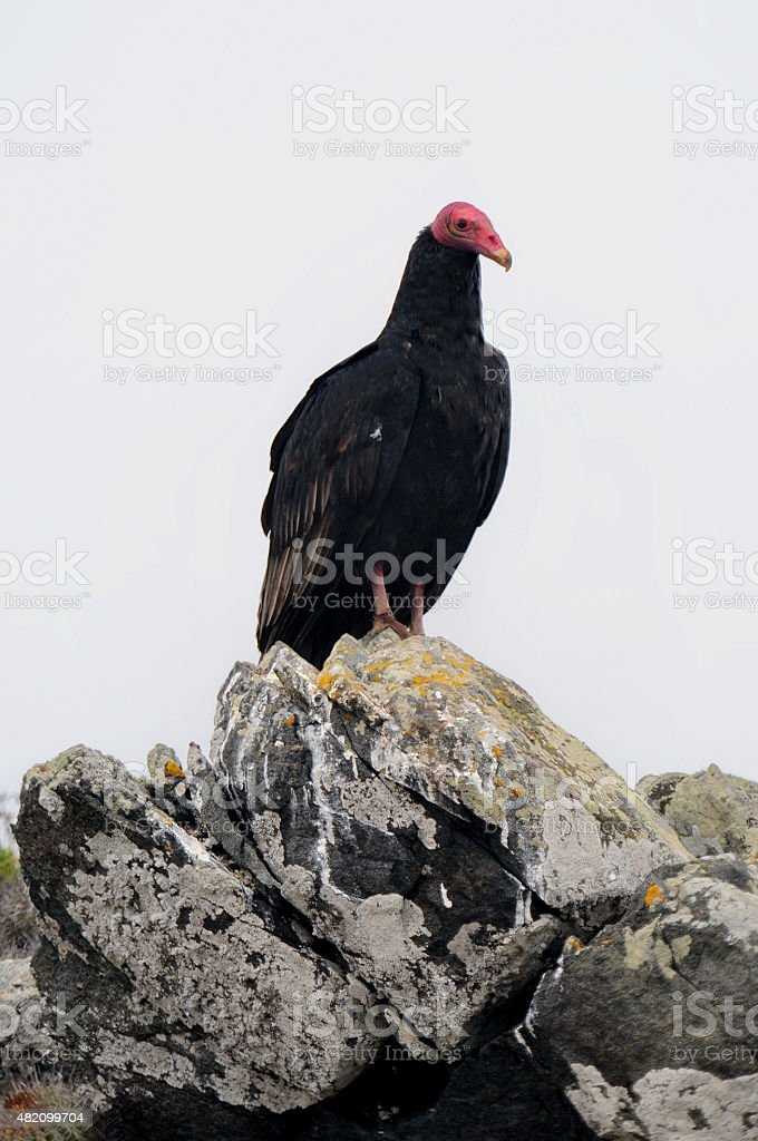 Buitre de cabeza roja. Redheaded Buitre. Red headed vulture. stock photo