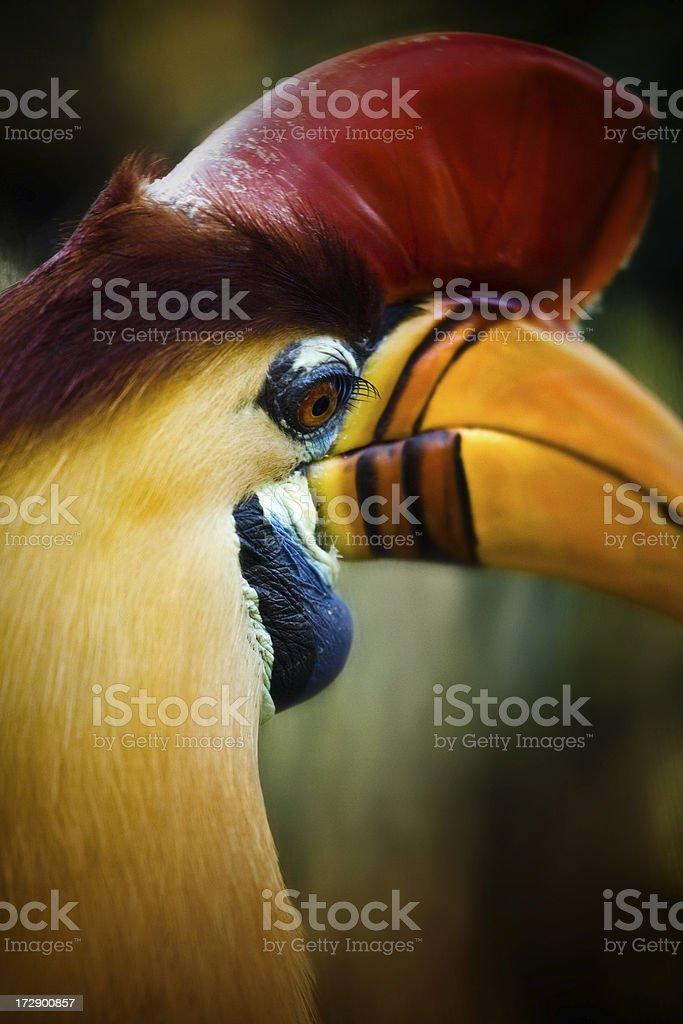 Red-knobbed Hornbill stock photo