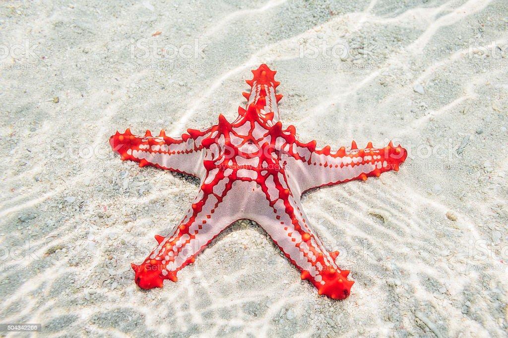 Red-knobbed Starfish ( Protoreaster linckii ) on Zanzibar stock photo
