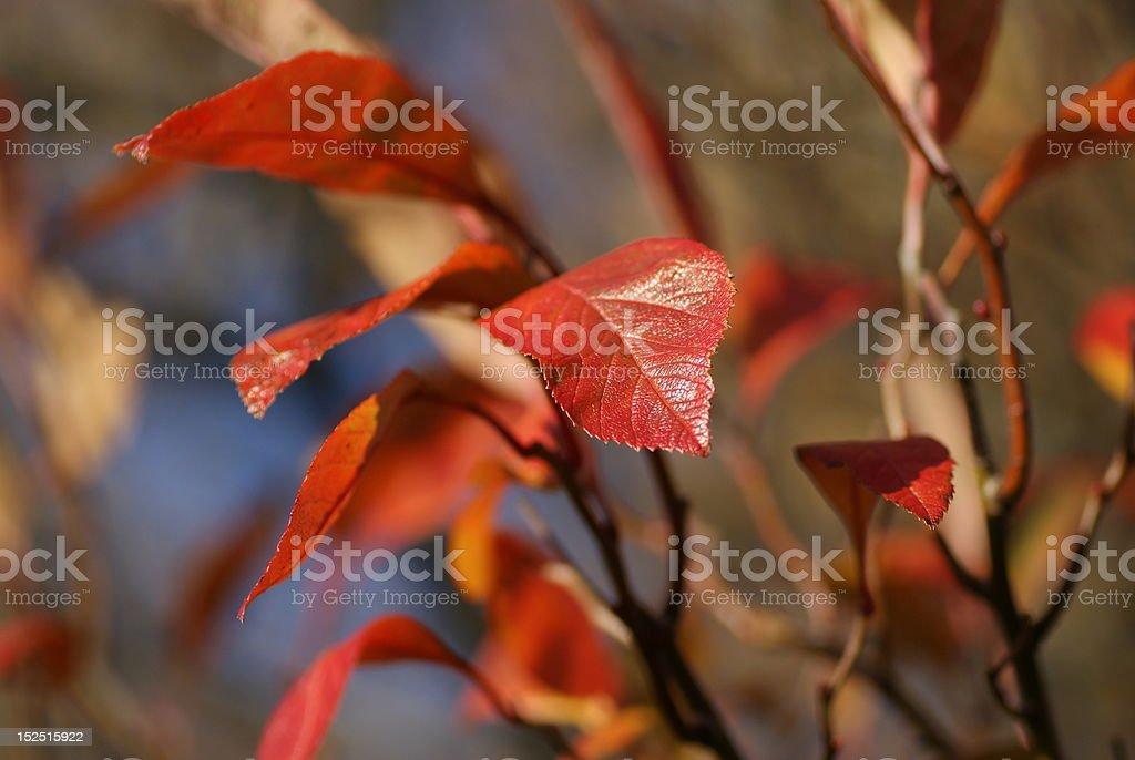 Redleaf stock photo