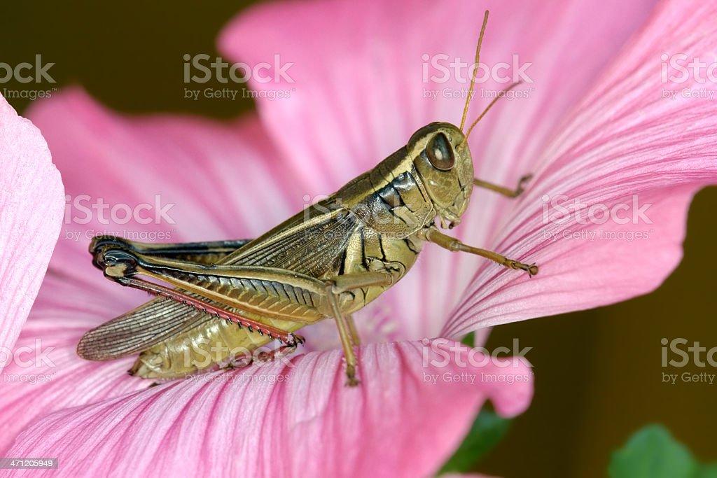 Red-legged Grasshopper on lavatera flower stock photo