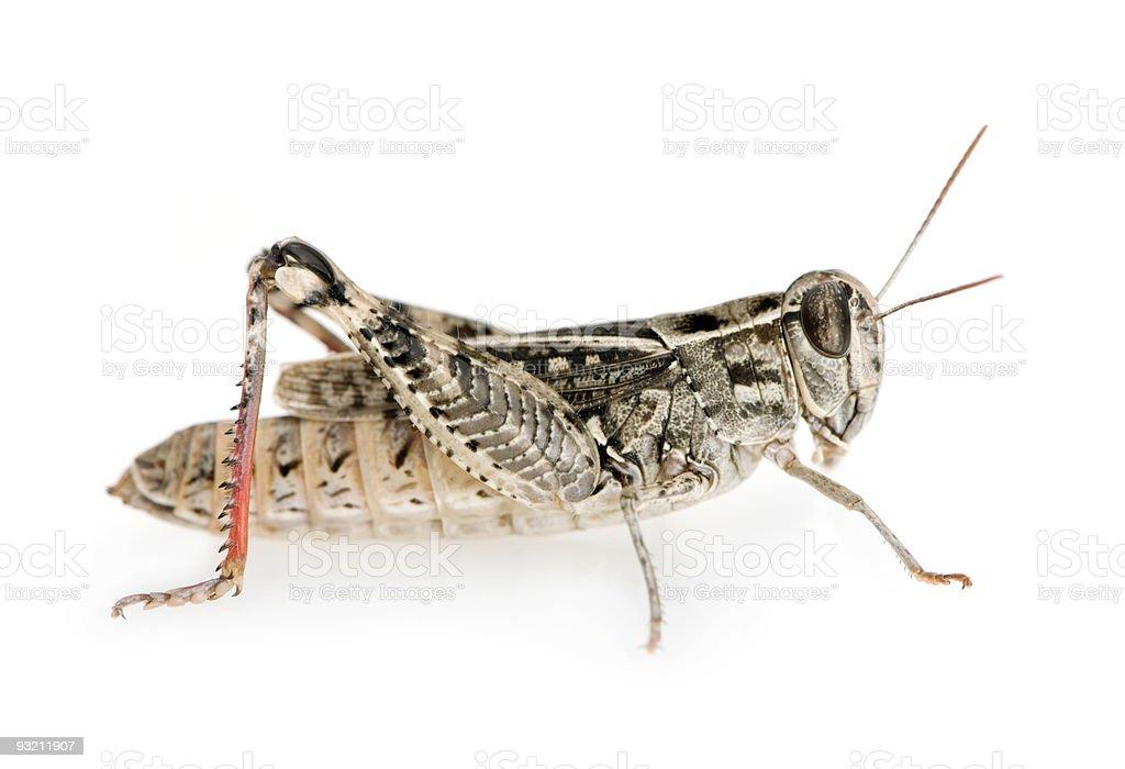 Red-legged Grasshopper stock photo