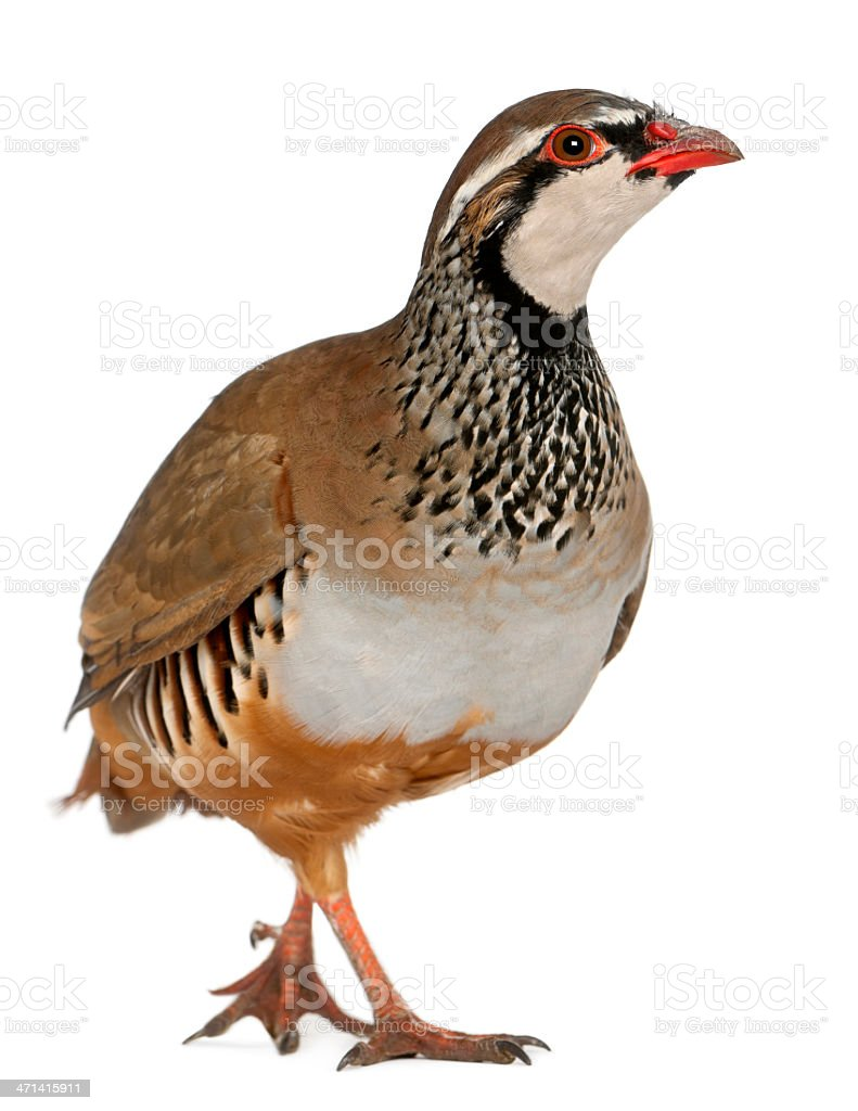 Red-legged or French Partridge, Alectoris rufa, on white royalty-free stock photo