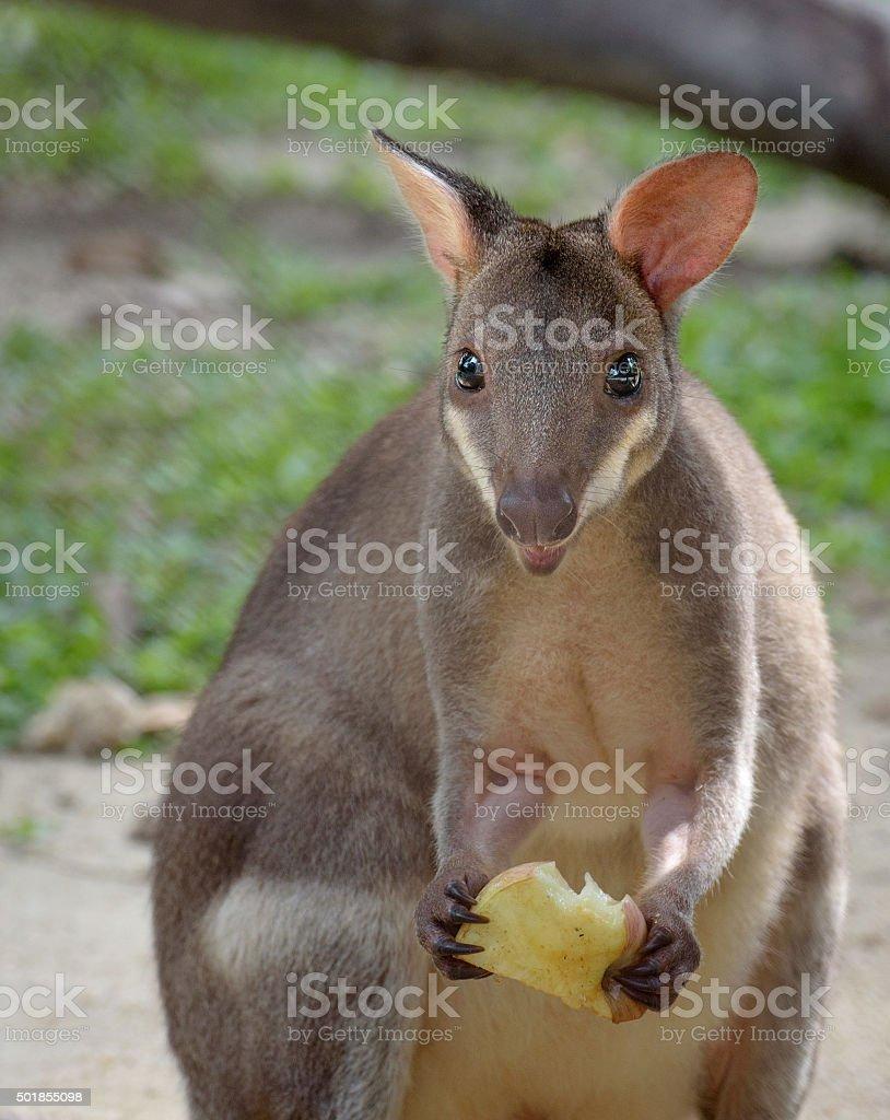 Red-legged pademelon (forest kangaroo) closeup portrait stock photo