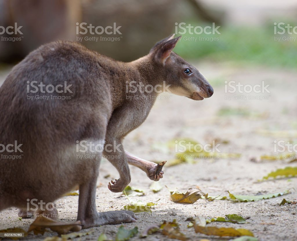 Red-legged pademelon (small forest kangaroo) side view stock photo