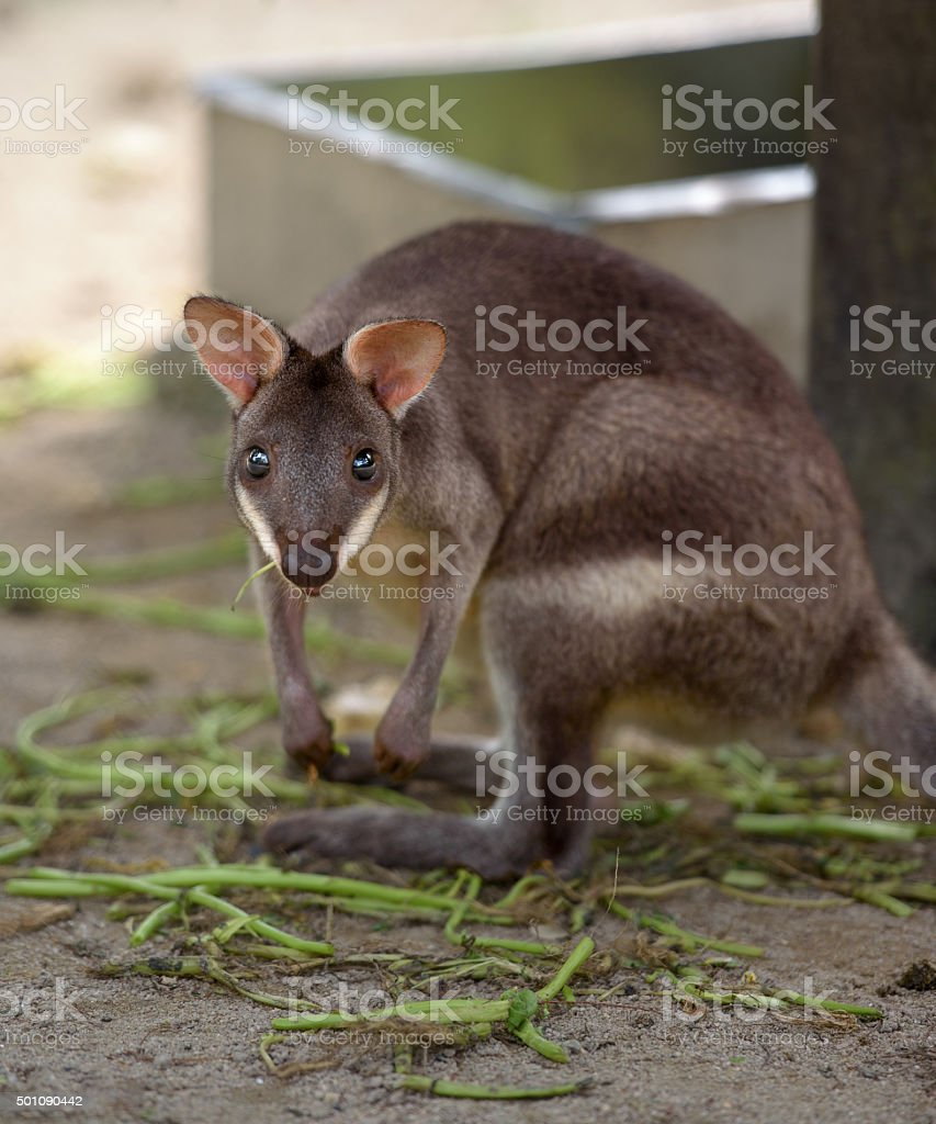 Red-legged pademelon stares at camera stock photo