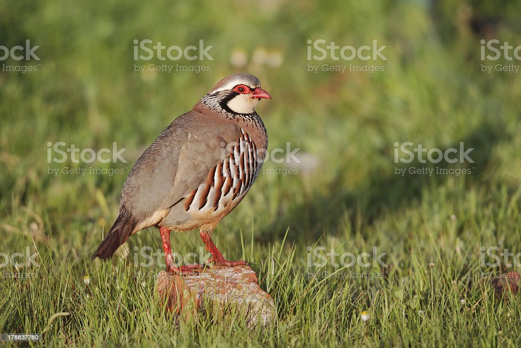 Red-legged partridge, Alectoris rufa royalty-free stock photo
