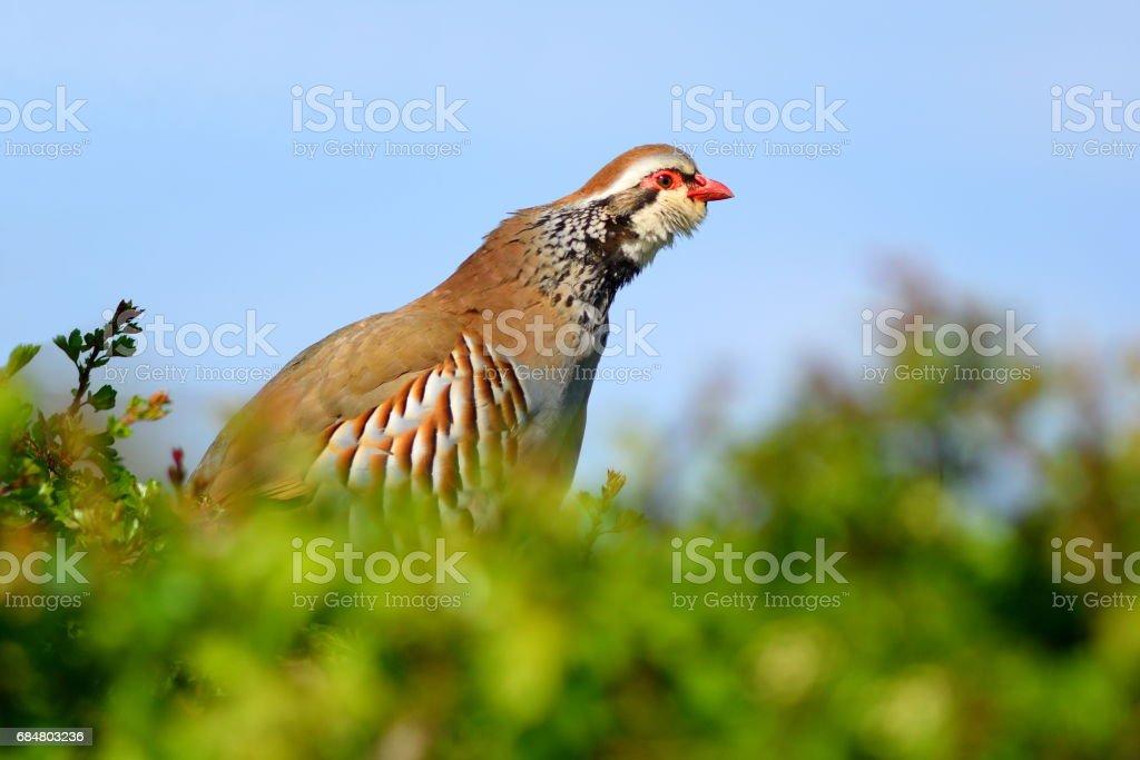 Red-legged Partridge stock photo