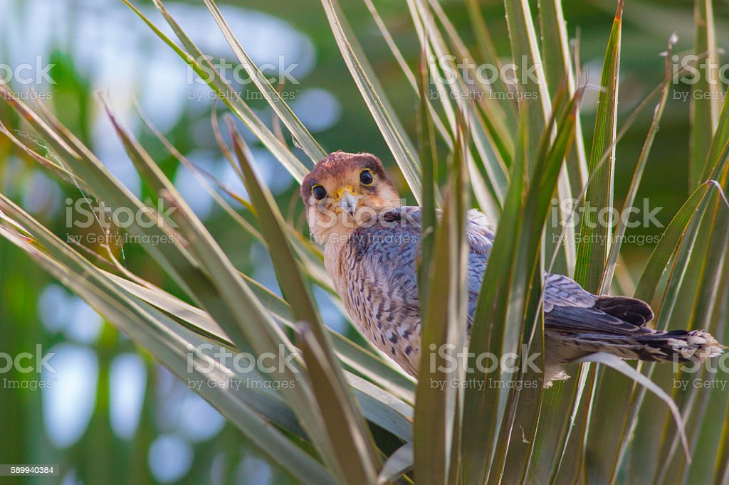 Red-necked falcon ( Falco chicquera ) or red headed Merlin stock photo