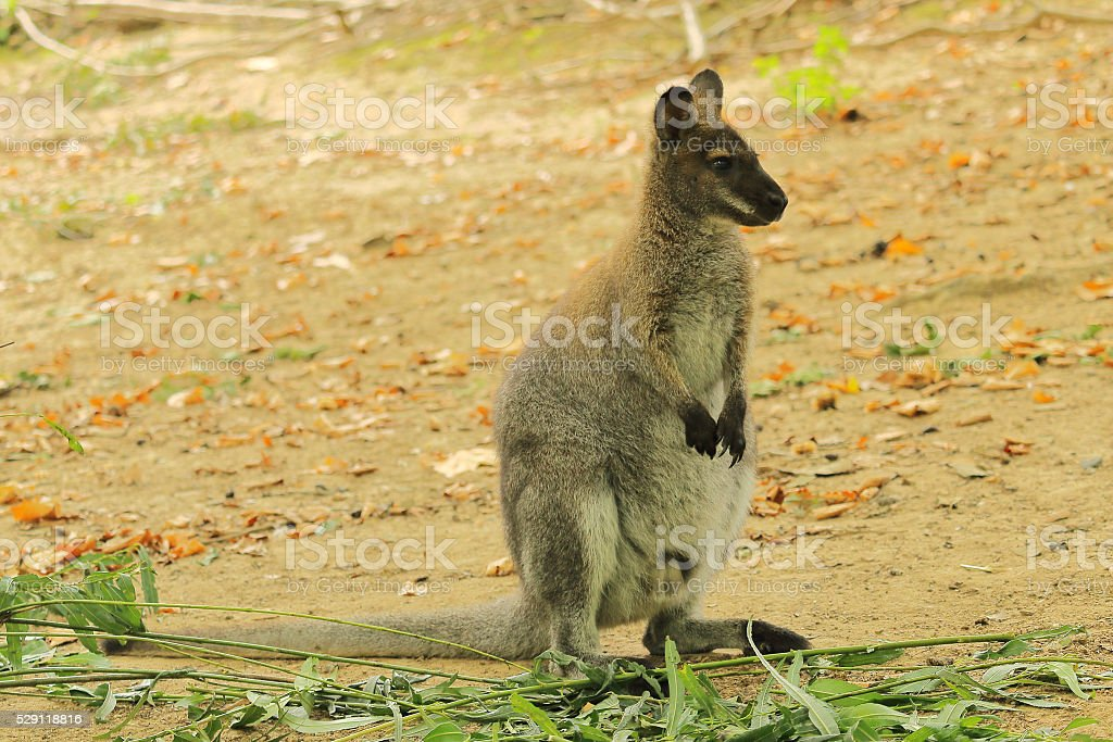 Red-necked Wallaby, also Bennett's wallaby,  Macropus rufogriseu stock photo