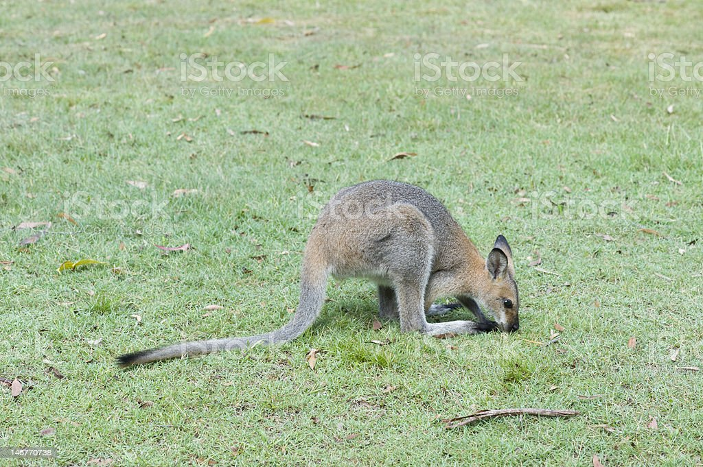 Red-necked Wallaby grazing royalty-free stock photo