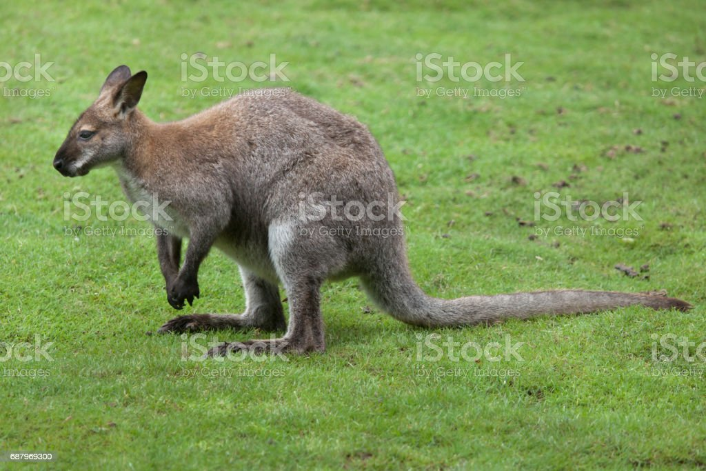 Red-necked wallaby (Macropus rufogriseus) stock photo