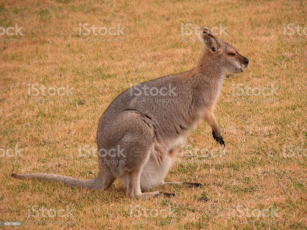 Red-necked Wallaby stock photo