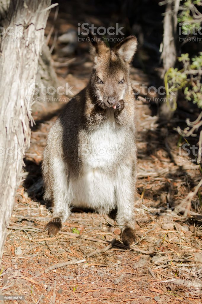 Red-necked wallaby standing grooming itself on forest ground in Tasmania, Australia stock photo