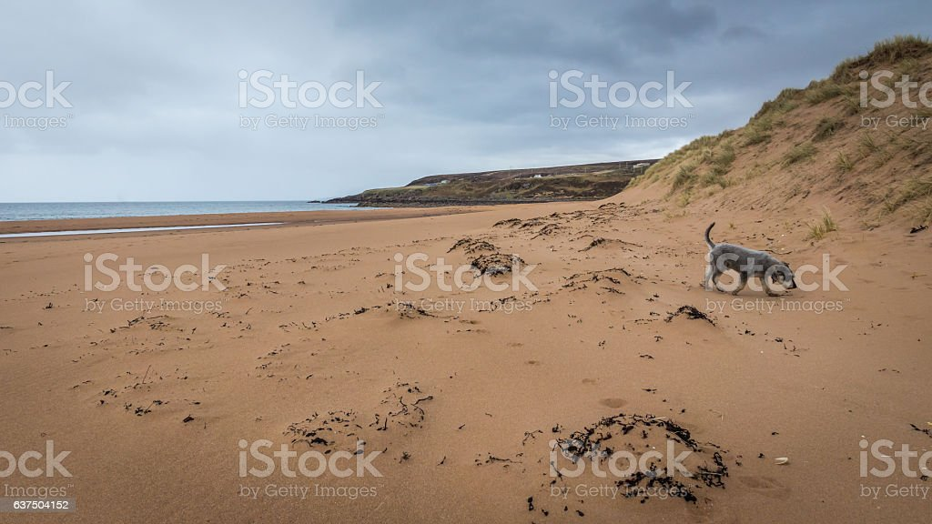 Redpoint Beach and Schnauzer stock photo