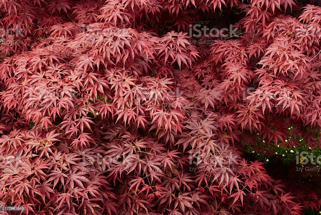 Reds foliage royalty-free stock photo