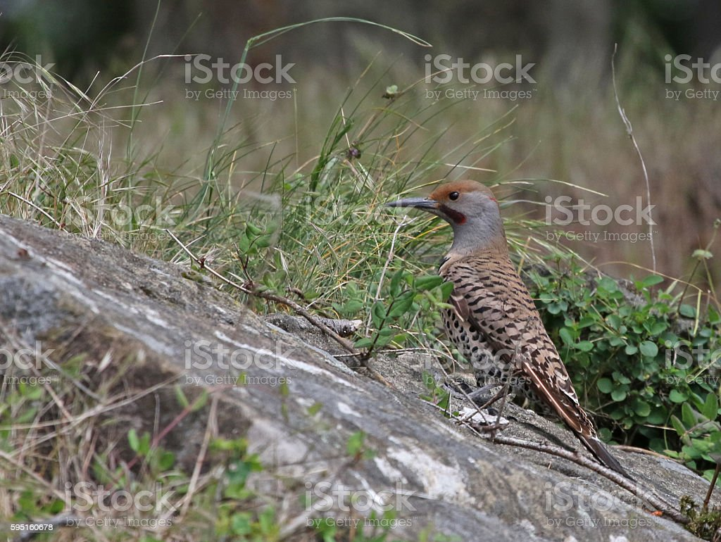 Red-Shafted Flicker stock photo
