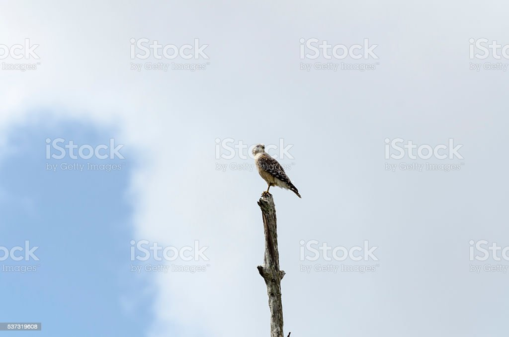 Red-shouldered Hawk checking surroundings stock photo
