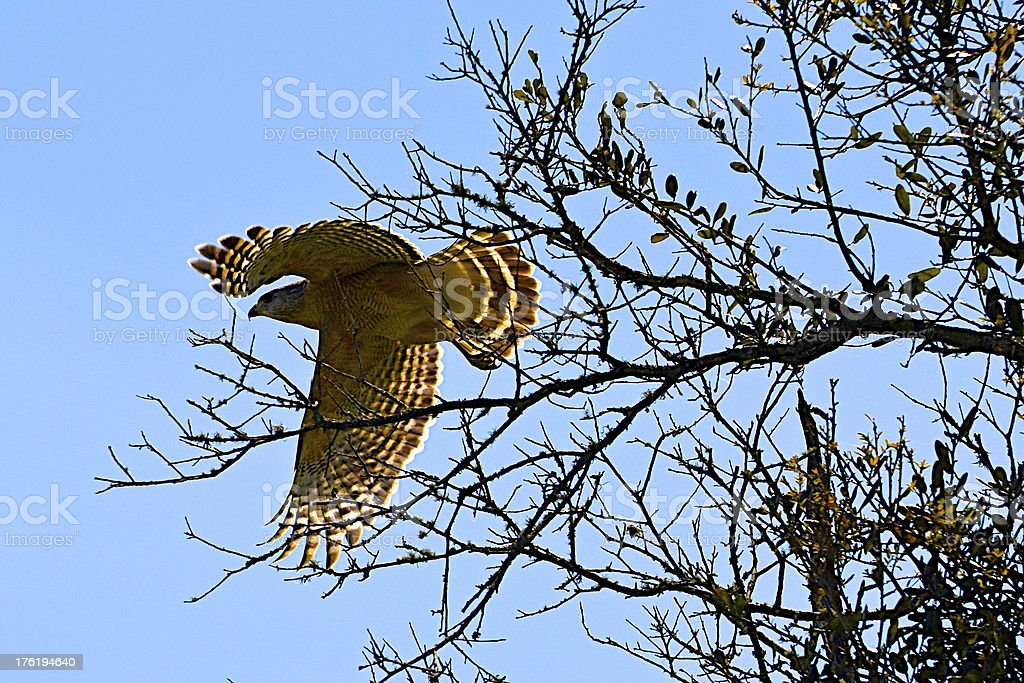 Red-shouldered Hawk In Flight - Blue Sky Day stock photo