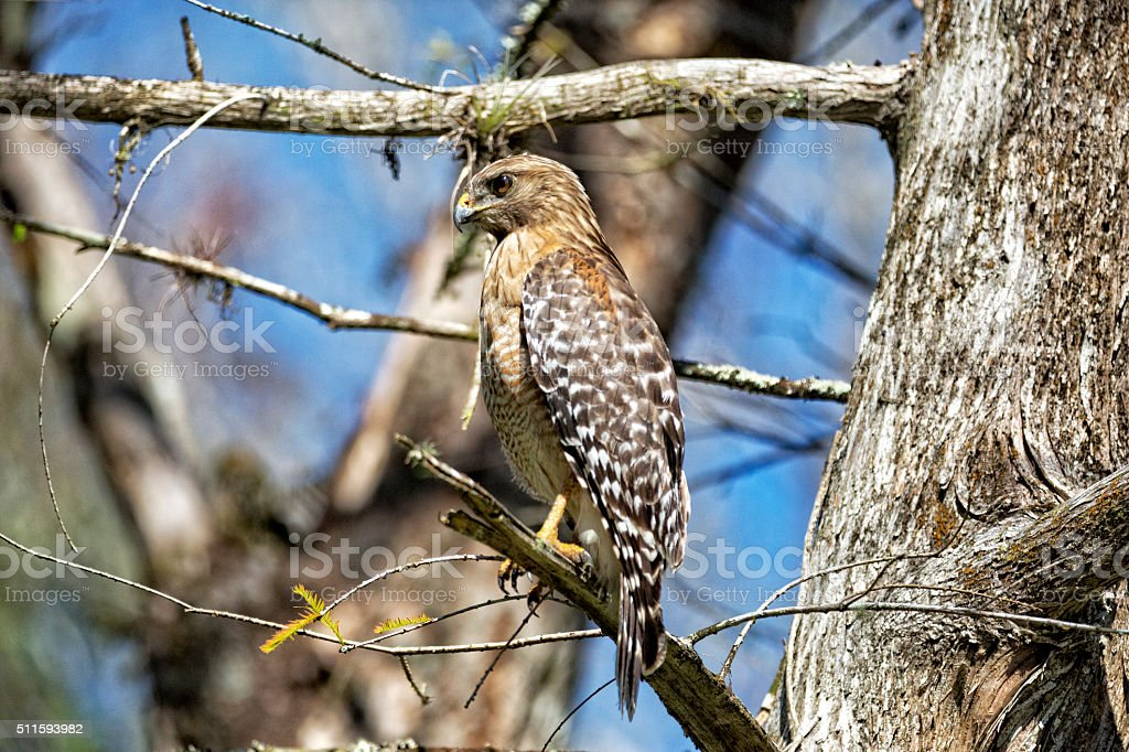 Red-shouldered Hawk Perched on a Cypress Tree stock photo