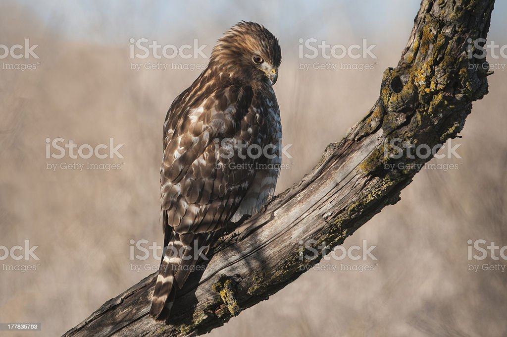 Red-shoulderedHawk royalty-free stock photo
