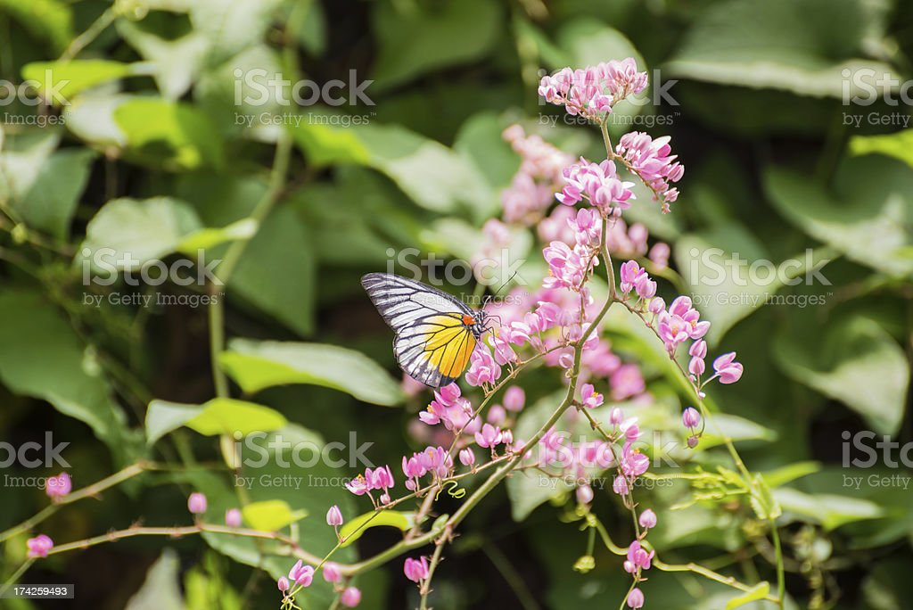 Redspot Sawtooth butterfly feeding on pink Coral Vine flowers royalty-free stock photo