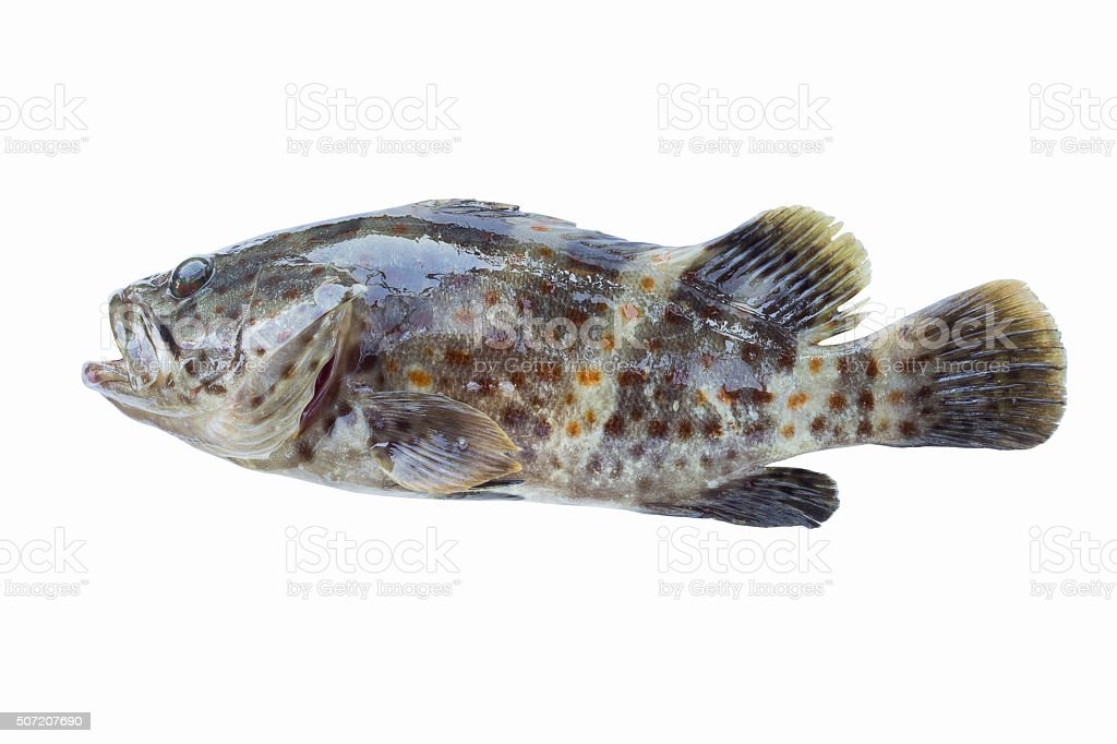 Red-spotted grouper stock photo