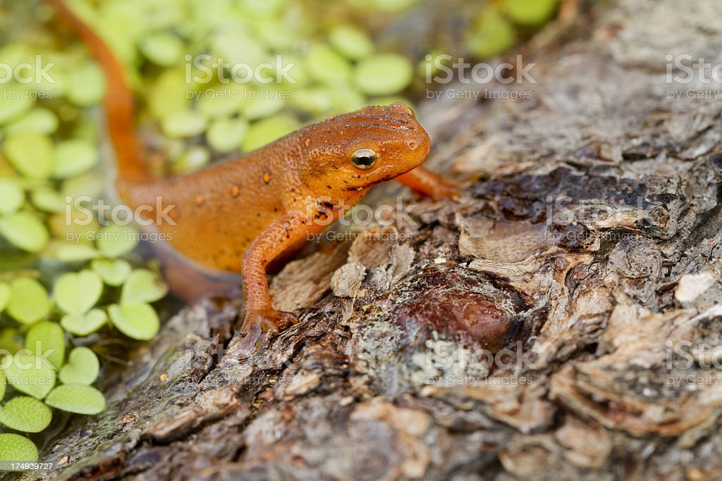 Red-spotted Newt Crawling out of Water royalty-free stock photo