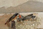 Redstart and Cuckoo
