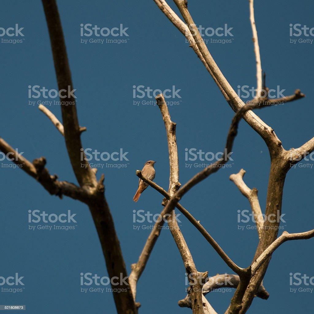 redstart, female on a twig (Phoenicurus phoenicurus) royalty-free stock photo