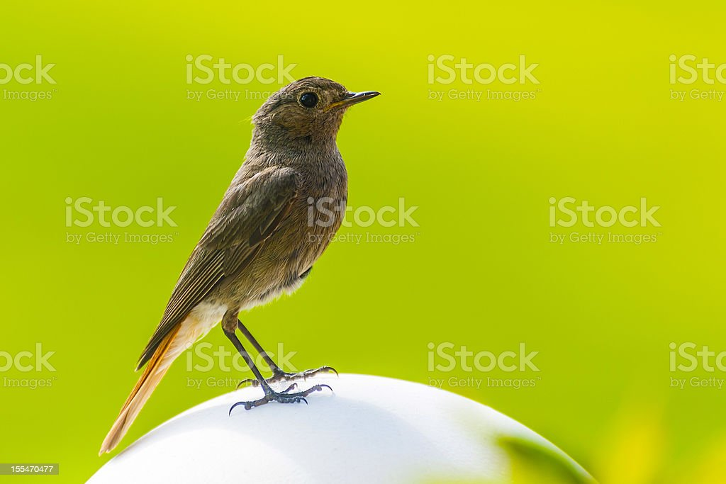 Redstart is sitting stock photo