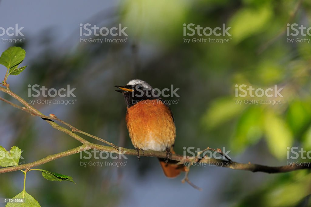 redstart male irrirtated by the flash stock photo
