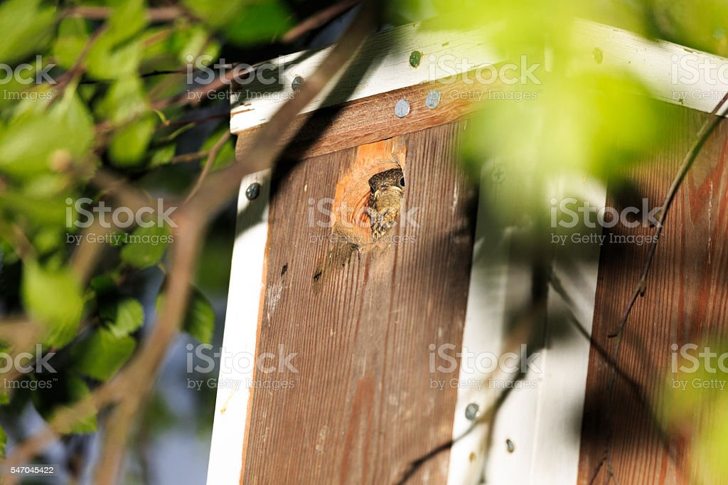 Redstart nestling loking out from a birdhouse stock photo