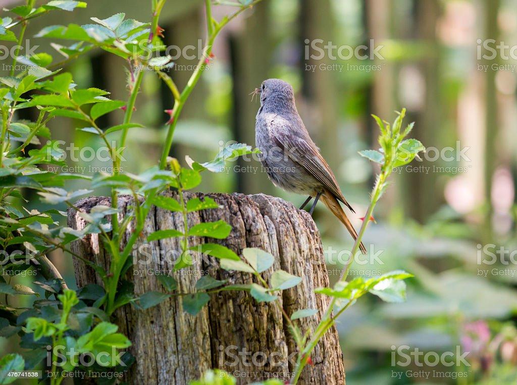 Redstart stock photo