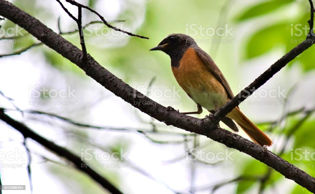Redstart sitting on a tree branch stock photo