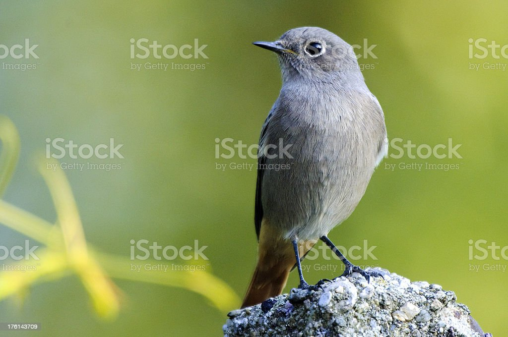 Redstart with green background stock photo
